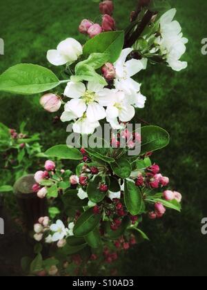 White blossoms - Stock Image