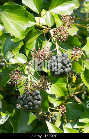 Ivy, Hedera helix, bunch of berries, fruit, April, Sussex, UK - Stock Image