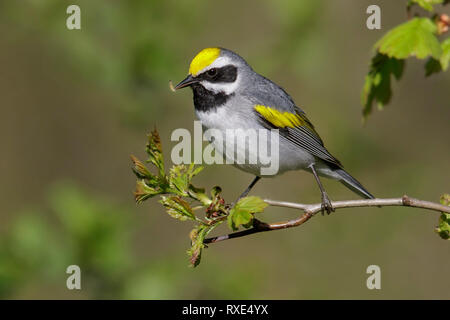 Golden-winged Warbler (Vermivora chrysoptera) perched on a branch in Southeastern Ontario, Canada. - Stock Image
