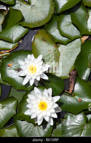 Two White Water Lilies - Stock Image