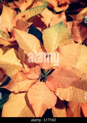 Orange leaves poinsettia - Stock Image