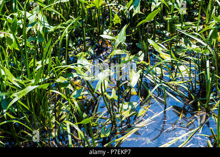Arrowhead (Sagittaria sagittifolia) with Ruddy Darter dragonfly (Sympetrum sanguineum) in the Combe Haven river in East Sussex, England - Stock Image