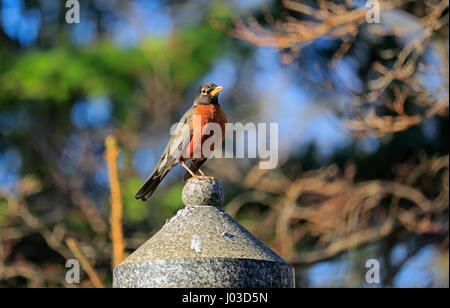 American robin, a sign of spring in Toronto, Ontario, Canada - Stock Image