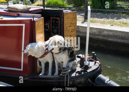 Two pet dogs on narrow boat at Baits Bite lock Milton 2019 - Stock Image