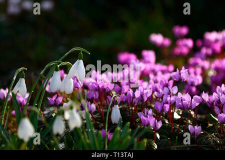 Cyclamen coum,Galanthus,snowdrop,snowdrops,cyclamens,February,Winter,White,pink,flowers,flowering,carpet,bulbs,beneath,underneath,tree,trunk,underplan - Stock Image