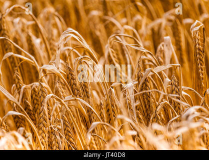 Close up of barley in a field which is almost ready for harvesting - Stock Image