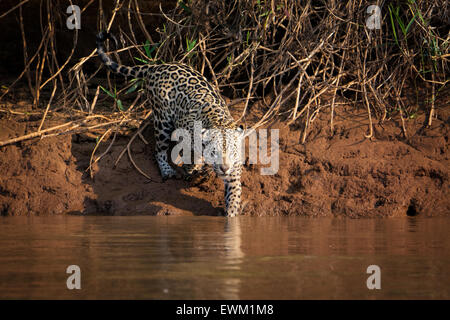 Front view of a female Jaguar, Panthera onca, hunting along a river bank in the Pantanal, Mato Grosso, Brazil, South - Stock Image