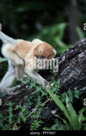 Baby proboscis monkey at Labuk Bay in Sabah, Borneo - Stock Image