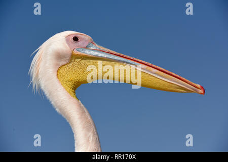 zoology, birds (Aves), Great White Pelican (Pelecanus onocrotalus), portrait, next to Pelican Point, W, Additional-Rights-Clearance-Info-Not-Available - Stock Image