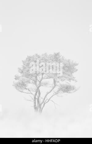 B&W Silver birch tree, Latin name Betula pendula, in a snow storm - Stock Image