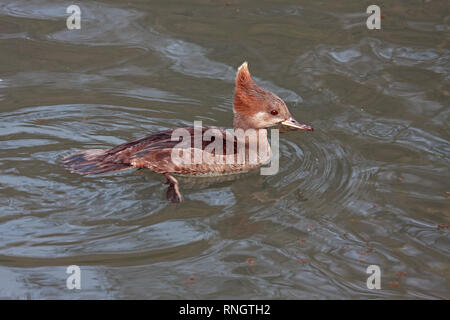 An immature female Hooded Merganser (Lophodytes cucullatus) swimmimg in a lake in Southern England - Stock Image