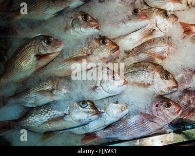 Snapper - Stock Image