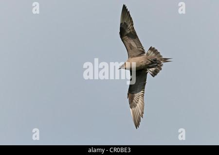 Arctic skua (Stercorarius parasiticus) dark phase adult in flight. Shetland Isles. June. - Stock Image