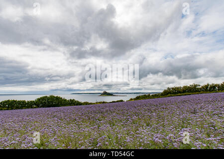 Marazion, Cornwall, UK. 12th June 2019. UK Weather. The sunshine is starting to break back out in Cornwall, with this farmers field full of lilac flowers bursting into bloom with St Michaels Mount in the background. Credit Simon Maycock / Alamy Live News. - Stock Image