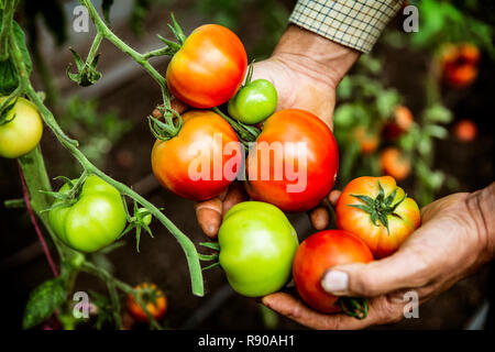 High angle close up of farmer holding bunch of fresh tomatoes. - Stock Image
