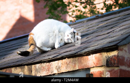 A large white house cat relaxes in the sunshine and rubs its face on a roof in Shrewsbury, Shropshire, England. - Stock Image