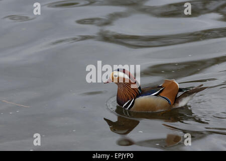 alone, animal, attractive, beutiful, british, color, colorful, creative, david slater, duck, exotic, feathers, lake, - Stock Image