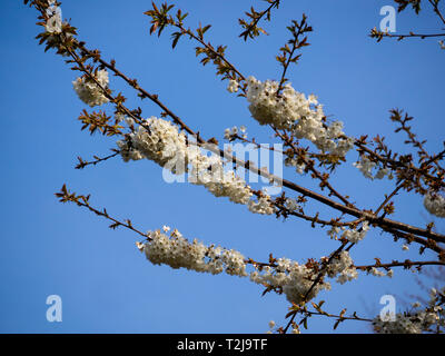 Dense clusters of white single flowers of the wild cherry tree, Prunus avium, in early spring bloom - Stock Image