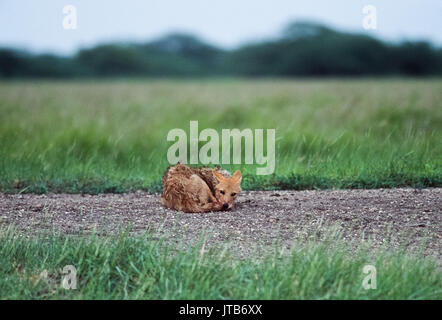 male Indian Jackal, (Canis aureus indicus), resting near den, Blackbuck National Park, Velavadar, Gujarat, India - Stock Image