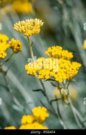 Helichrysum italicum . - Stock Image