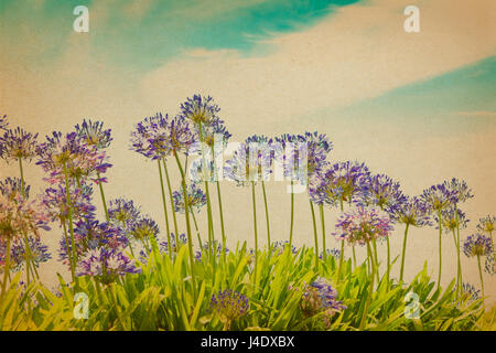 Purple agapanthus flowers in full bloom on a sunny day against blue sky, vintage or retro filter effect, copy, text - Stock Image