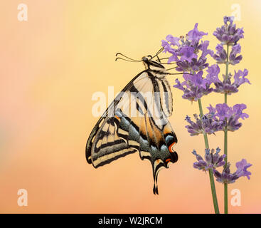 Side view of a western tiger swallowtail butterfly (Papilio rutulus)  - on a vibrant colourful background - Stock Image