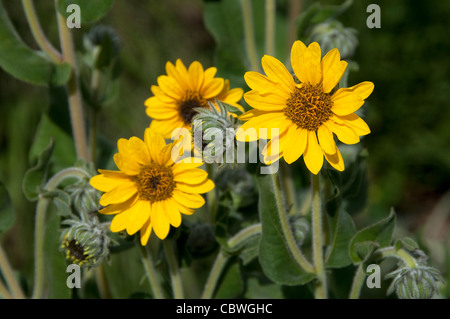 Yellow Crownbeard (Verbesina helianthoides), flowering. - Stock Image