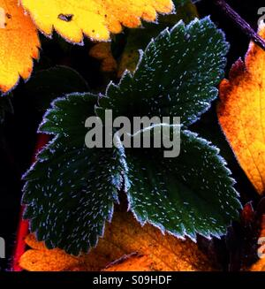 Frosty Leaves - Stock Image