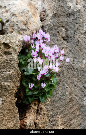 Cyclamen persicum growing amongst the ruins of the Tombs of the Kings, Paphos, Cyprus, March - Stock Image