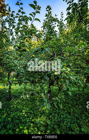 Italy Piedmont Turin Valentino botanical garden -  Tree Grove - Apple tree - Stock Image