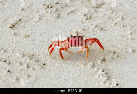 Galapagos Ghost Crab, Ocypode gaudichaudii, San Cristobal Island, Galapagos Islands, Ecuador, South America - Stock Image