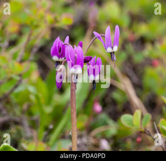 Beautiful Frigid Shooting Star flowers blooming on the tundra of Nome, Alaska - Stock Image