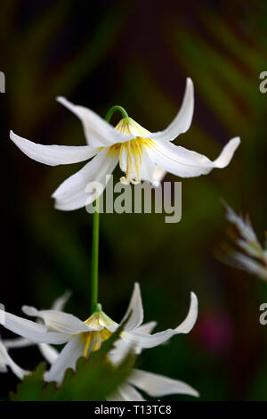 Erythronium Harvington Snowgoose,fawn lily,dogstooth violet,spring,white,flowers,flowering,clump,wood,woods,woodland,shade,shady,shaded,garden,RM flor - Stock Image