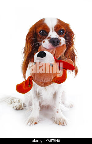 Cute cavalier king charles spaniel dog puppy on isolated white studio background. Dog puppy with toy puppy. - Stock Image