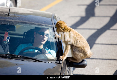 Face Off - a Gibraltar Ape sitting on a car wing mirror staring at the driver and he stares back - Stock Image