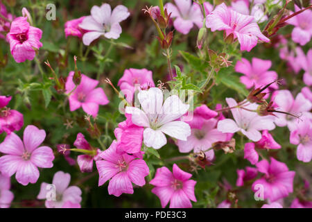 Pink and White Geraniums in the garden - Stock Image