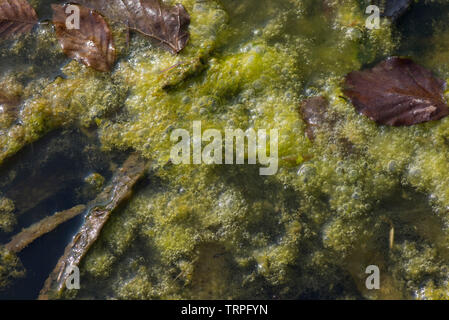 Filamentous algae or blanket weed oxygen bubbles forming in dense growth on the surface of a garden pond - Stock Image