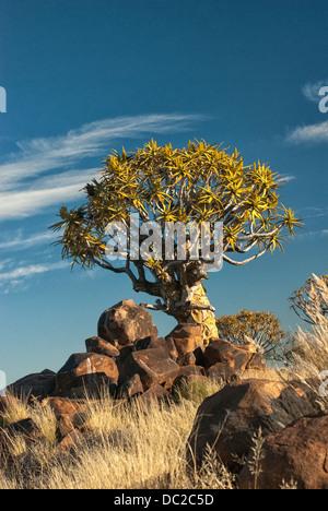 Quiver tree, Kokerboom, Aloe dichotoma, Quiver tree forest, Farm Gariganus, Keetmannshoop, Namibia, Africa - Stock Image