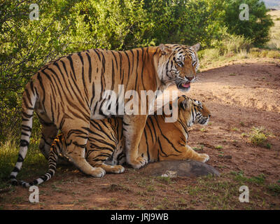 Bengal tigers mating with male face visible and tigress profile. - Stock Image