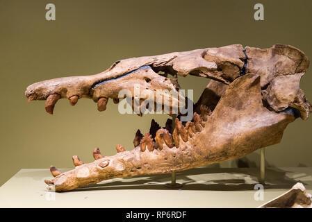 Fossil skull of an ancestor whale Basilosaurus of Eocene age. Mammals of Ice Age exhibit. The Field Museum. Chicago, Illinois, USA. - Stock Image