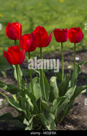 Spring group of flowering red tulips in spring.  Location is Chicago, Illinois, in the American Midwest. - Stock Image