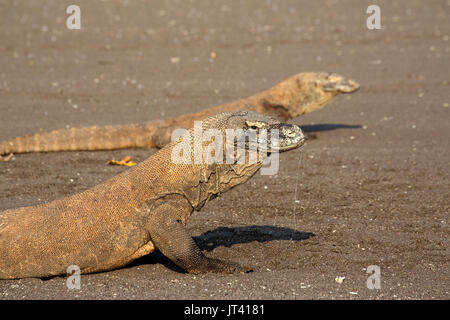 Komodo Dragon (Varanus komodoensis) in the Komodo National Park area, with saliva dripping. Their saliva contains 60 types of deadly bacteria. - Stock Image