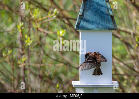Bird feeding babies in bird house - Stock Image