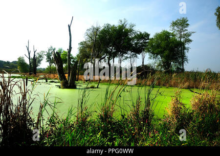 Wetland marsh with algae, cattails, and dead trees. - Stock Image