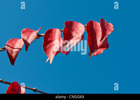 Detail of an euonymus alertus with blue background. - Stock Image