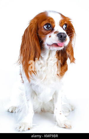 Cute funny dog photo. Cavalier king charles spaniel puppy dog on isolated white studio background. Funny puppy. - Stock Image