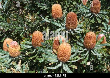 Menzies Banksia, Banksia menziesii or Firewood Banksia at the Australian Garden, Cranbourne, Victoria - Stock Image