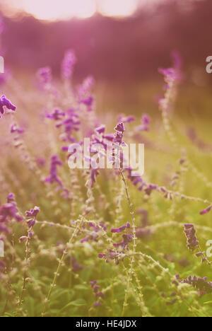 Sunlit purple wildflowers - Stock Image