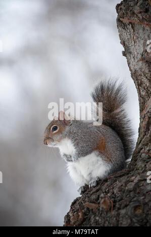 Grey Squirrel or Eastern Gray Squirrel, (Sciurus carolinensis), in tree in winter, Regents Park, London, United - Stock Image