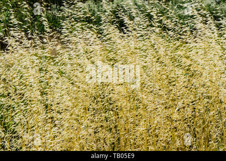 Wild Oats growing at the San Luis National Wildlife Refuge in the Central Valley of California USA - Stock Image